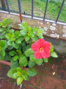 Autumn Hibiscus on the terraza. Foto J Finnigan
