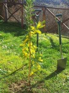 One of three new Mimosa Trees in our beautiful garden. Foto J Finnigan