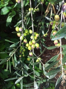 Olives ready for picking 2