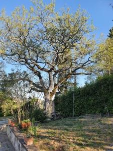 Oak tree April 2020