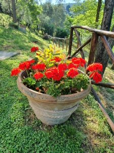 Big broken pot and Geraniums