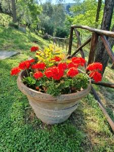 Big broken pot and Geraniums